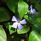 Periwinkle in Bloom - Garwood by Courtney Robison