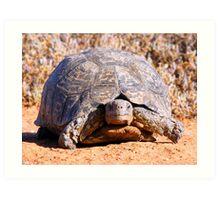 Leopard Tortoise Art Print