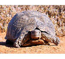 Leopard Tortoise Photographic Print