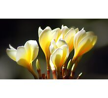 Frangipani in Afternoon Delight, Queensland Photographic Print