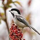 Chickadee - Ottawa, On by Tracey  Dryka