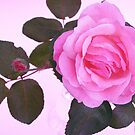 Sweet Rose by Victoria McGuire