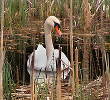 Swan in the Rushes by Carol Bleasdale