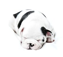 Sleepy Frenchie by Andrew Bret Wallis
