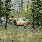 Looking at Me? - Bull Elk by paolo1955