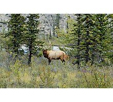 Looking at Me? - Bull Elk Photographic Print