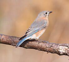 Eastern Bluebird by EugeJ