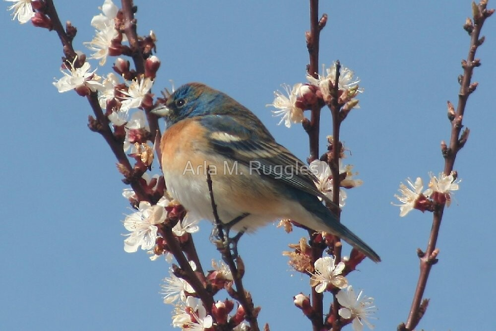 Bluebird Of Happiness by Arla M. Ruggles