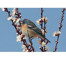 Bluebird Of Happiness Photographic Print