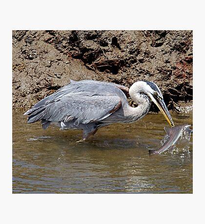 Blue Heron Fishing Photographic Print