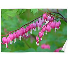 Lamprocapnos spectabilis (formerly Dicentra spectabilis) Poster