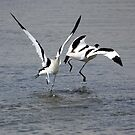 The dance of the Avocet&#x27;s! by procapture