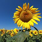 Sunflower 2 by VladimirFloyd