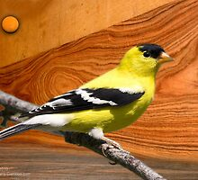 male goldfinch by arteology