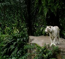White Tiger in Singapore by wanderlust54