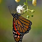 Monarch by rrushton