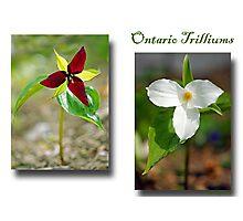 Ontario Trilliums Photographic Print