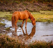 New Forest pony at waterhole with reflection by Dave  Knowles