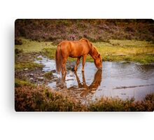 New Forest pony at waterhole with reflection Canvas Print