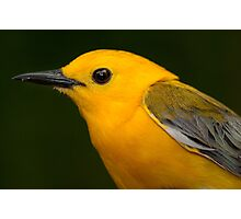 Prothonotary Warbler Photographic Print