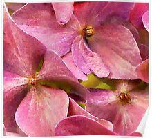 A Chorus of Hydrangea Pink Poster