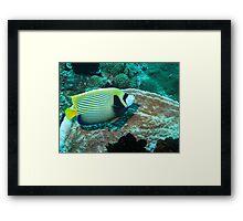 Emperor Anglefish Framed Print
