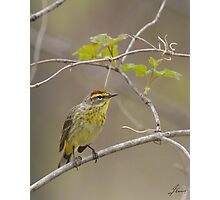 Palm Warbler 01 Photographic Print