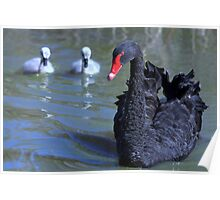 Mother and cygnets Poster