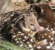 Contented Couple of Quolls, Cradle mountain, Tasmania, Australia. by kaysharp