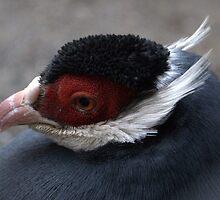 Blue Eared Pheasant by Susan Vinson