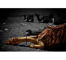 Sleeping camel, Giza Photographic Print