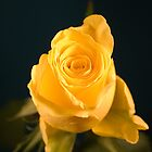 A Single Yellow Rose by FlashGordon666