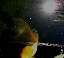 Koi with sun in the water. by Marilyn Baldey