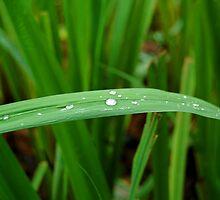 green leaf by walterericsy