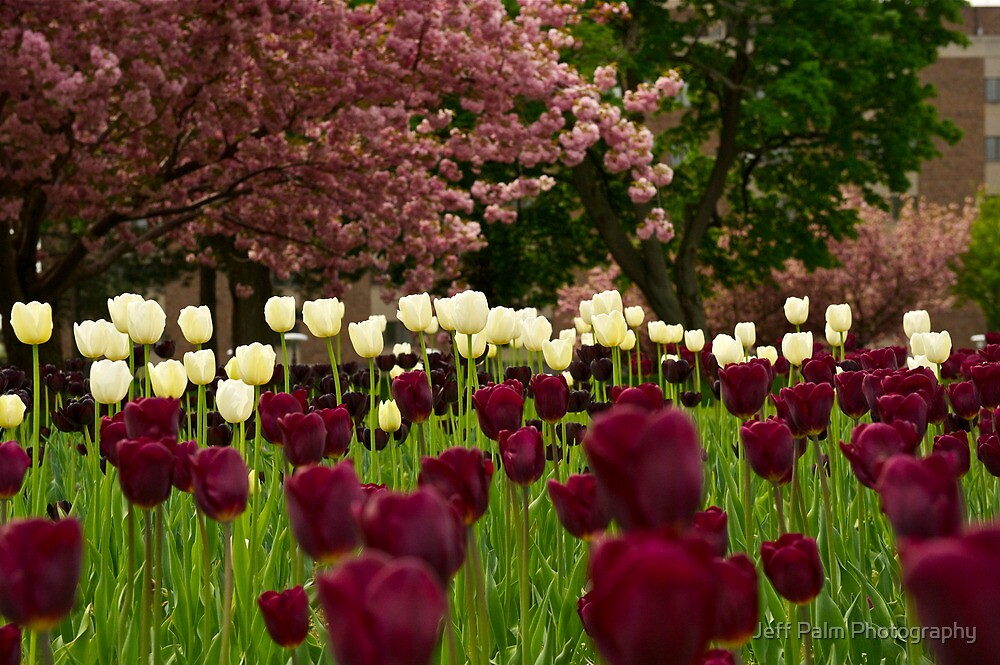 Tulips by Jeff Palm Photography
