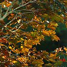 Sunrise on my  Red Leaf Maple by Susan Blevins