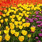 Tulips Abound by Claudia Kuhn