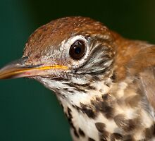 Wood Thrush by Bonnie T.  Barry