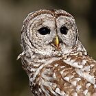 Barred Owl - Brighton, ON by Tracey  Dryka