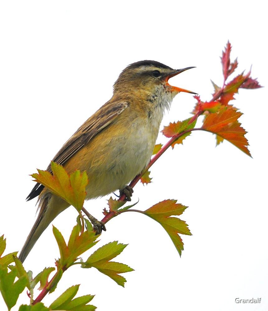 sedge warbler singing for her by Grandalf