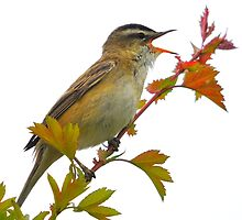 sedge warbler singing for her by Grandalf