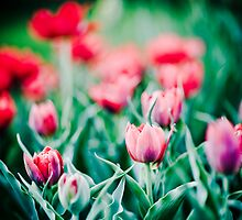 Tulips... by Melsk
