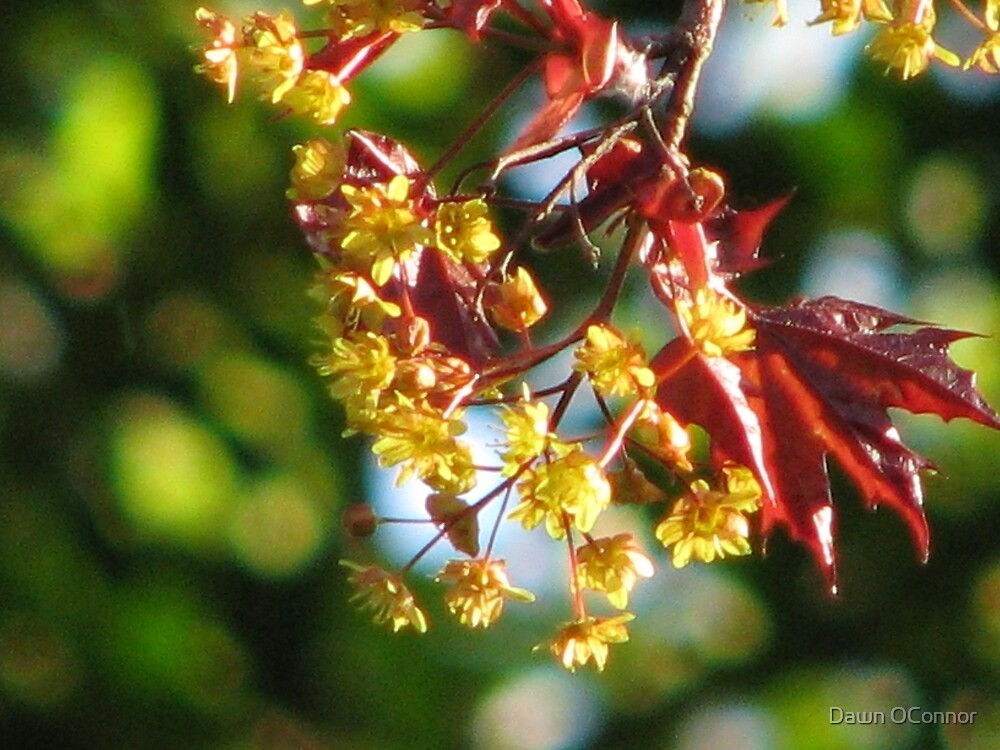 Acer platanoides 'Crimson King' by Dawn OConnor