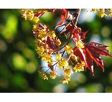 Acer platanoides 'Crimson King' Photographic Print