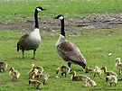 Canadian Geese Family by Barberelli
