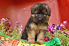 Long Coated GSD Puppy by Sandy Keeton