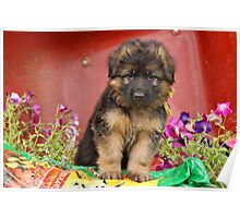 Long Coated GSD Puppy Poster