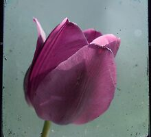 Single Tulip TTV by Michelle Anderson