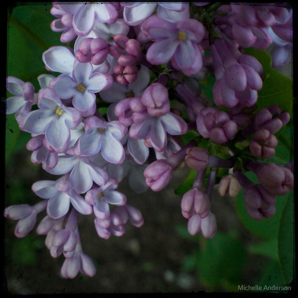 Purple Lilac TTV by Michelle Anderson