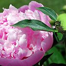 Her Peony by Patricia Motley